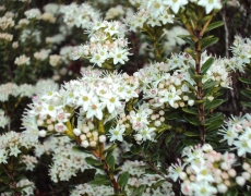 Mountain Myrtle in bloom