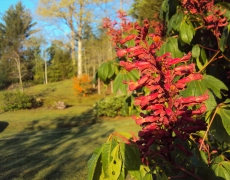 Red Buckeye up close
