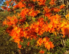 Flame Azalea up close