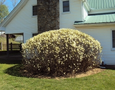 Fothergilla in bloom