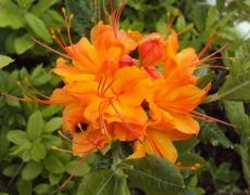 Flame Azalea blooming