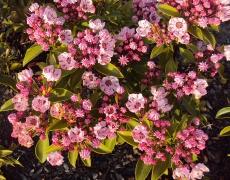 pink Kalmia