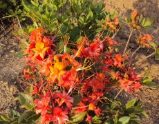 red Flame Azalea