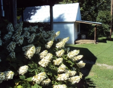 Hydrangea and Potato House
