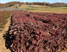 Oakleaf Hydrangea seedlings