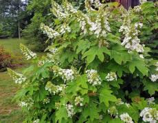 Oakleaf-Hydrangea-blooming