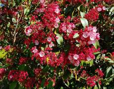 Red-budded-Kalmia-Latifolia