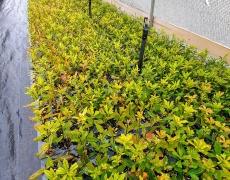 RhododendronViscosum